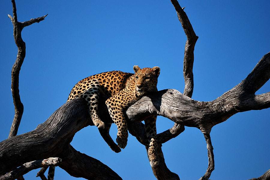 Wildlife on Safari in the Okavango Delta, Botswana